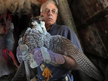 Thomas W. French held a female peregrine falcon.